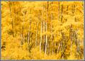 Wasatch Gold - Fall Aspens