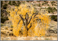 Fall Cottonwood - Buckhorn Wash