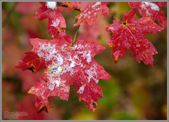 Snowy Maple Leaves