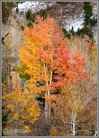 Lone Aspen In Fall Foliage