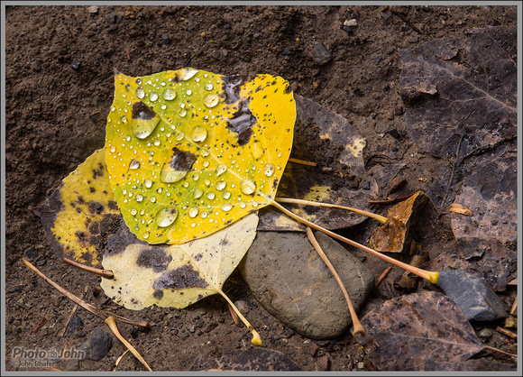 Wasatch Aspen Leaf With Water Droplets