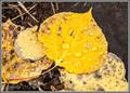 Water Drops & Aspen Leaves