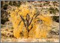 Fall Cottonwood - Buckhorn Wash